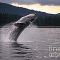 Humpback Whale Breaching by Ron Sanford