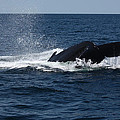 Humpback Whale Diving by Jean Clark