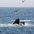 Humpback Whale Feeding by Jean Clark