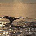 Humpback Whale Feeding by Ron Sanford