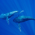 Humpback Whale Males Interacting Maui by Flip Nicklin