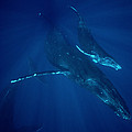Humpback Whale Mother And Calf Hawaii by Flip Nicklin