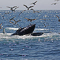 Humpback Whale Off Provincetown by Jean Clark