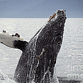 Humpback Whale by Ron Sanford