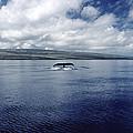 Humpback Whale Tail Slap Hawaii by Flip Nicklin