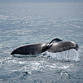 Humpback Whale Tail by Zina Zinchik