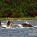 Humpback Whales Feeding by Robert Bales