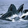Humpback Whales Gulp Feeding On Herring by Flip Nicklin