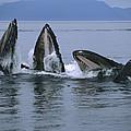 Humpback Whales Gulp Feeding Southeast by Flip Nicklin