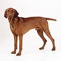 Hungarian Vizsla Dog by John Daniels