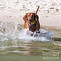 Hungarian Vizsla With Ball At The Beach by Melody Watson