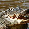 Hungry Alligator by Larry Allan