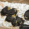 Hungry Baby Birds by Jim Pruitt