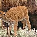 Hungry Baby Bison by Karen Jones