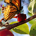 Butterfly And The Cherry by Sabrina McKenzie