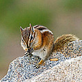 Hungry Chipmunk In Rocky Mountain National Park by Fred Stearns