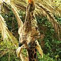 Hungry Giraffe by Micah May