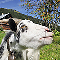 Hungry Goat by Matthias Hauser