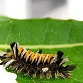Hungry Hairy Caterpillar by Cynthia Woods