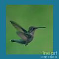 Hungry Little Hummingbird 4 by Barb Dalton