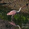 Hungry Pink Spoonbill by Stephen Whalen
