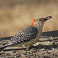 Hungry Red-bellied Woodpecker - Melanerpes Carolinus by Kathy Clark
