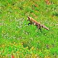Hunting Fox by Danielle Marie