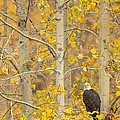 Hunting From An Aspen by Tim Grams