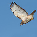 Hunting Hawk by Mircea Costina Photography