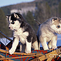 Huskies On A Sled by Rolf Kopfle