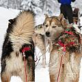 Husky Dogs Pull A Sledge  by Lilach Weiss