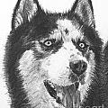 Husky Drawing by Kate Sumners