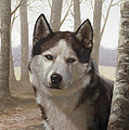 Husky In The Woods by John Silver