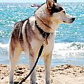 Husky On The Beach by Gina Dsgn