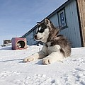 Husky Sled Dog Puppy by Science Photo Library