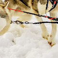 Husky Sled Dogs, Lapland, Finland by Panoramic Images