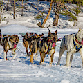 Husky Sled Dogs, Lapland, Sweden by Panoramic Images