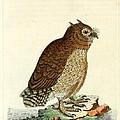 Hutum Owl  by John Latham