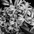 Hyacinth 2014 by Beth Akerman