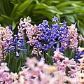Hyacinth Garden by Frank Tschakert