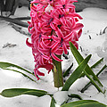 Hyacinth In The Snow by E B Schmidt