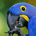 Hyacinth Macaw Anodorhynchus by Frans Lanting MINT Images