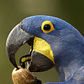 Hyacinth Macaw Cracking Piassava Palm by Pete Oxford