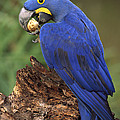 Hyacinth Macaw Eating Piassava Palm Nuts by Pete Oxford