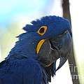 Hyacinth Macaw by Gretchen Treves