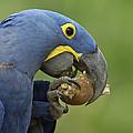 Hyacinth Macaw Habitat Eating Piassava by Pete Oxford