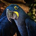 Hyacinth Macaw by Joan Carroll