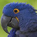 Hyacinth Macaw Portrait by San Diego Zoo