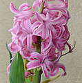 Hyacinth Pink by Jeffrey Kolker