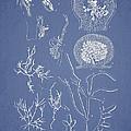 Hyalosiphonia Caespitosa Okamura Valonia Confervoides by Aged Pixel